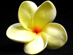 Lemon Lime Plumeria Sample